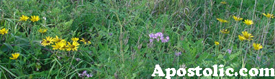 Websters Apostolic (daisys in the wild)
