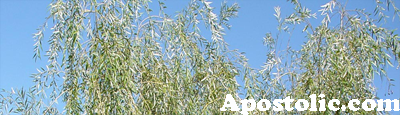 Apostolic (willow)